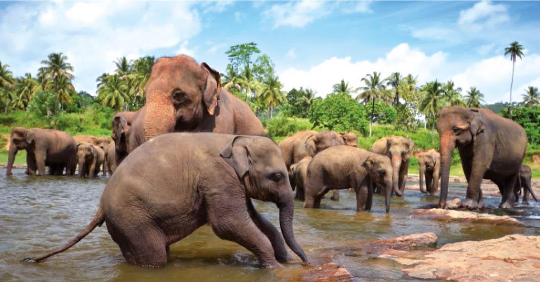 Sri Lanka_Elefanten