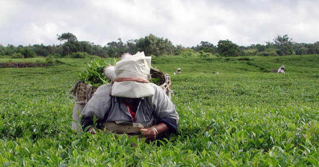 Sri Lanka_Teepflückerinnen