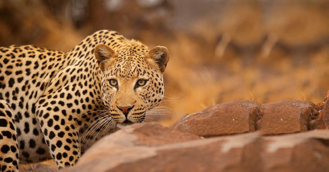 Suedafrika_Leopard