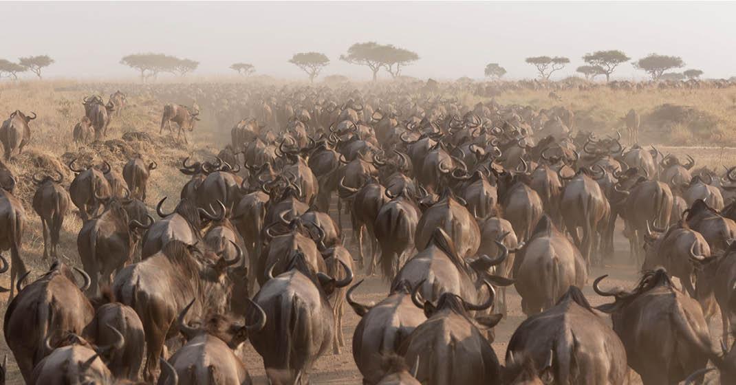 Tansania_Migration_Gnuherden