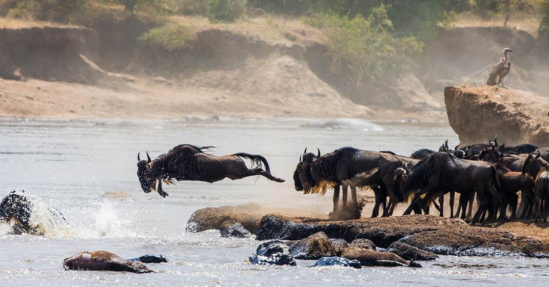 Tansania_Migration_Gnus-springen-in-den-Fluss