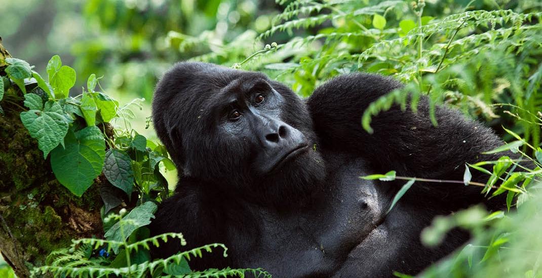 Uganda_Berggorillas_