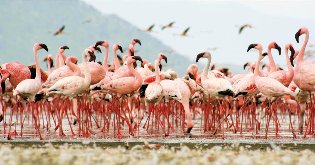 Uganda_Flamingos_