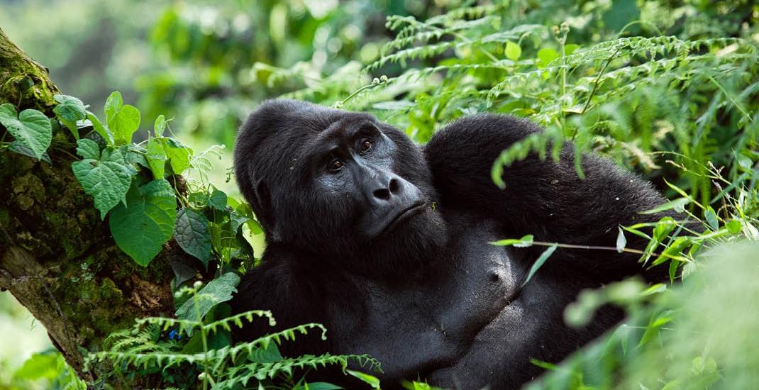 Uganda_Gorilla_Berggorilla
