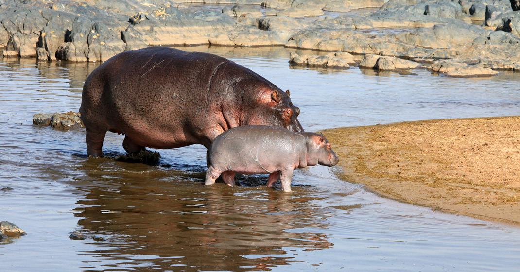 tansania_Flusspferde
