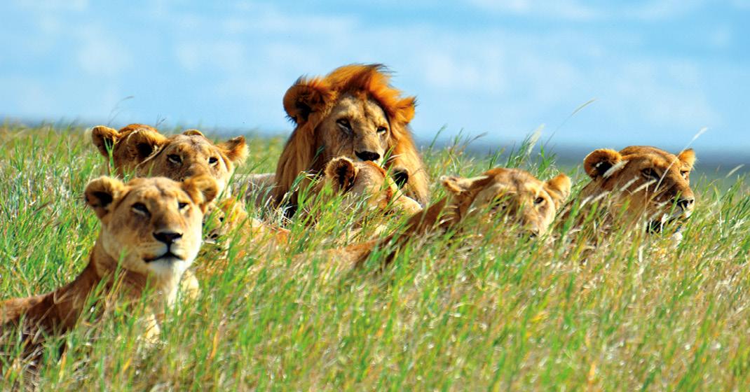 tansania_Löwen