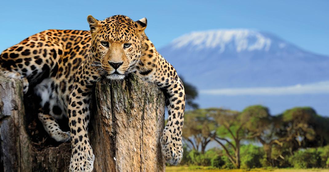 tansania_Leopard