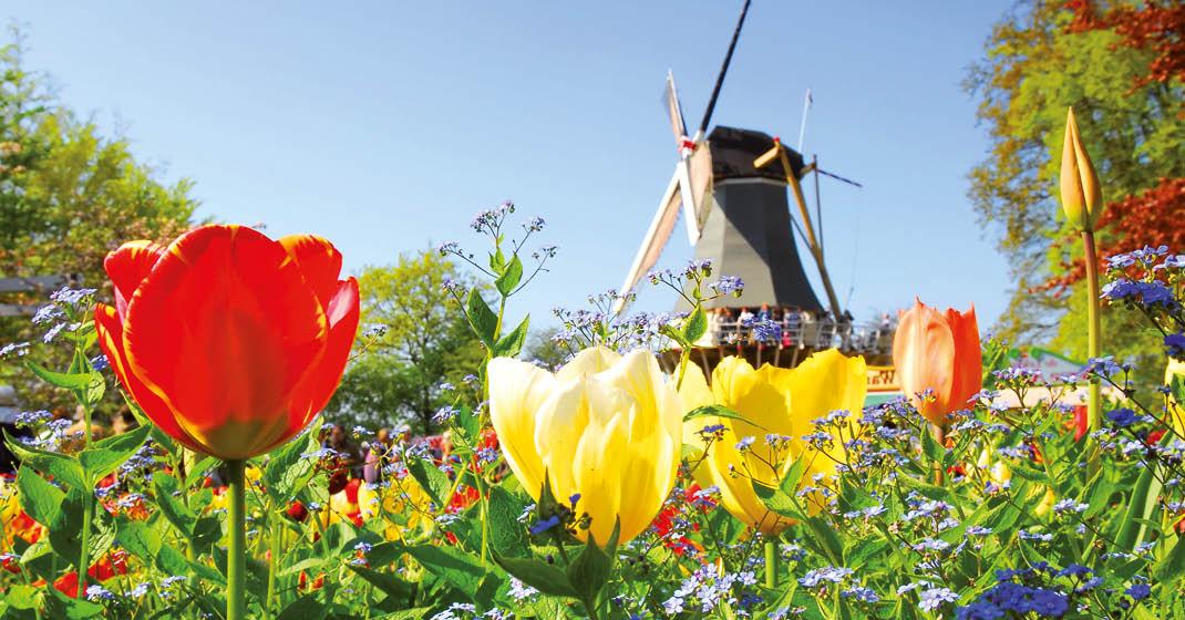 MS Asara_Windmühle im Tulpenfeld_KF8099