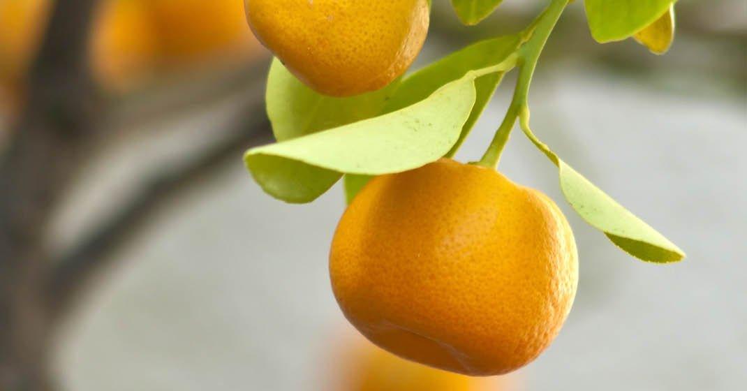 FL8137_Mandarinen-Olivenernte_
