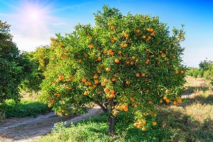 Mandarinenernte in Kroatien