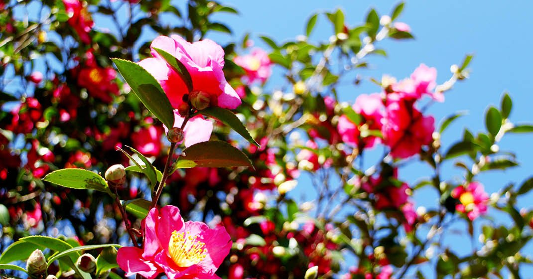 Kamelienblüte_Lago_Maggiore_16