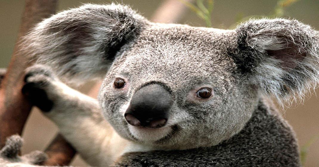 FL0411_Australien_Koala